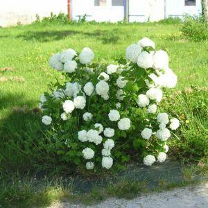 planter un viburnum boule de neige