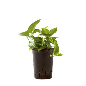 PLANTE POUSSÉE BOTANICLY culture hydroponique | Plantes d'intérie