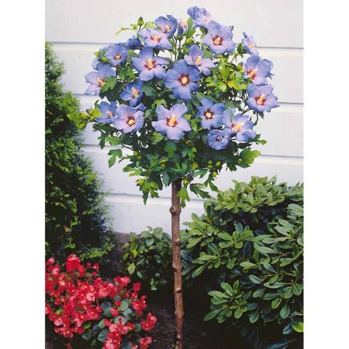 Hibiscus de jardin sur tige bleu - Achat / Vente arbre - buisson ...