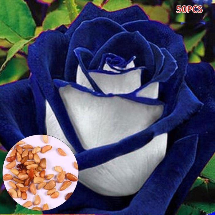 Graines De Rose Multicolore De Jardin Decor 50pcs 1 Achat Vente