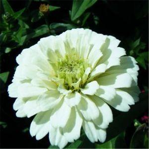 GRAINE - SEMENCE TEMPSA 50pcs Mélange de graines de fleurs Plante J