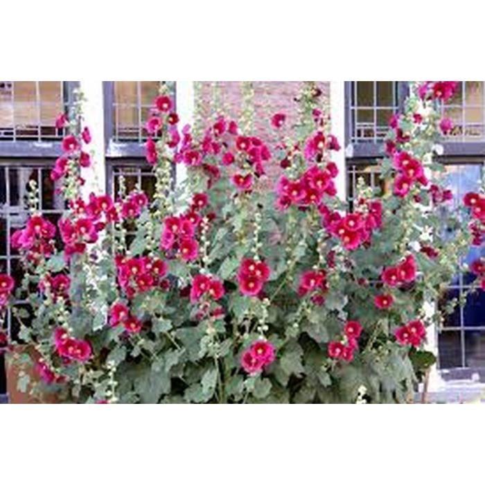 5 Roses Tremiere En Pot Acclimate Achat Vente Arbre Buisson
