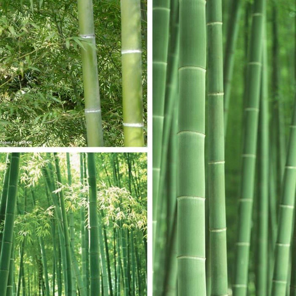 tempsa 100pcs graine de bambou pubescens plantes jardin