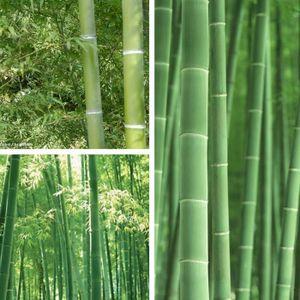 GRAINE - SEMENCE TEMPSA 100pcs graine de bambou pubescens plantes J