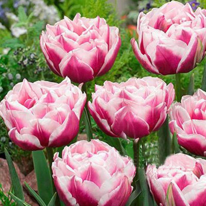 bulbe de fleurs achat vente bulbe de fleurs pas cher cdiscount. Black Bedroom Furniture Sets. Home Design Ideas