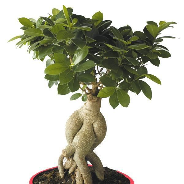 ficus microcarpa ginseng achat vente bulbe ficus. Black Bedroom Furniture Sets. Home Design Ideas