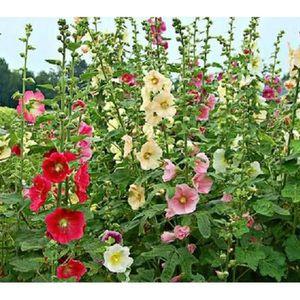 Rose tremiere achat vente pas cher - Planter des roses tremieres ...