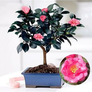 FLEUR ARTIFICIELLE HOT 10pcs chinois graines de théier vert Camellia