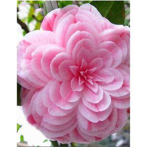 GRAINE - SEMENCE Graines de Multi variété Camellia 10pcs #6