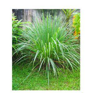 125 graines Graines d/'herbe-CITRONNELLE