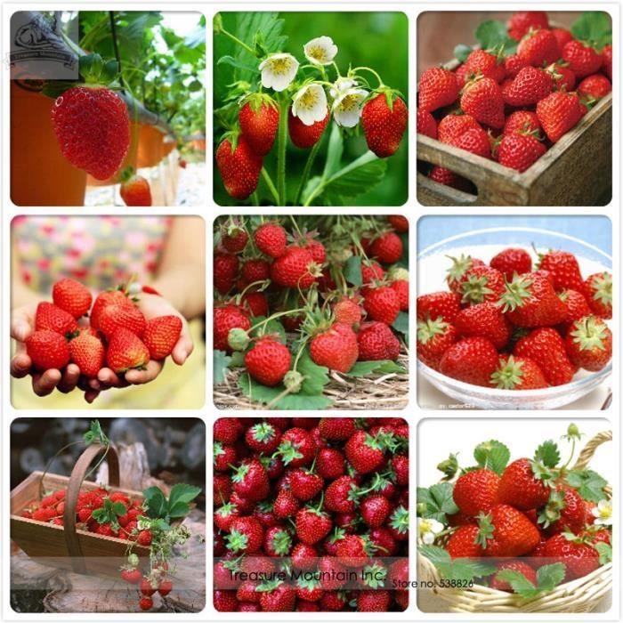 vip2store 9 vari t s de graines fraises rouges bio pack professionnel 100 graines achat. Black Bedroom Furniture Sets. Home Design Ideas