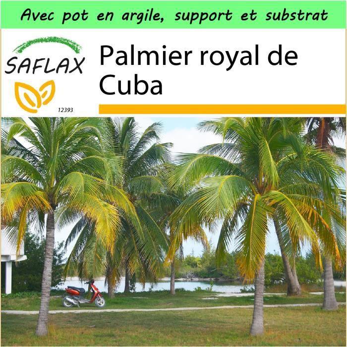 Saflax Jardin Dans La Boite Palmier Royal De Cuba 8 Graines