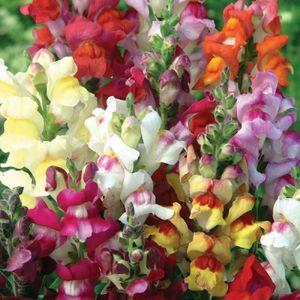 GRAINE - SEMENCE Lot de 100 graines de Muflier des Jardins nains -