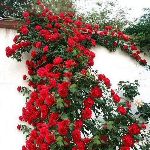 Rose Graine Mur Creeper Fleur Vivace 100pcs 1 Achat Vente