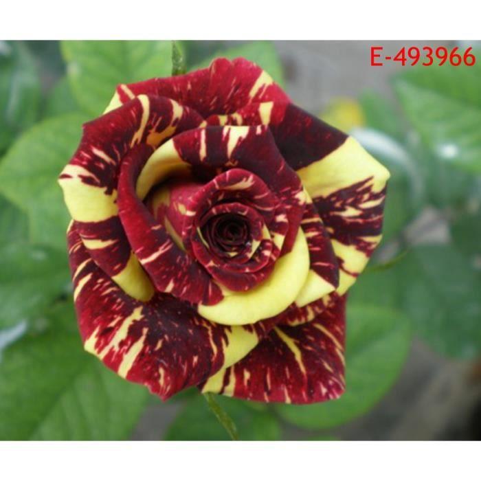 20pcs Graines de fleur rare de pluie météorologique rose type 5